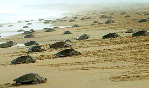 OliveRidley-turtles-Odisha
